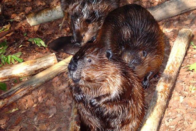 three beavers